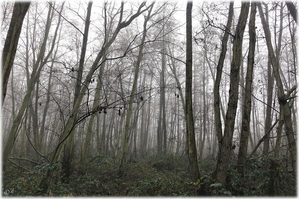 Ein Erlenbruch im Nebelgewand