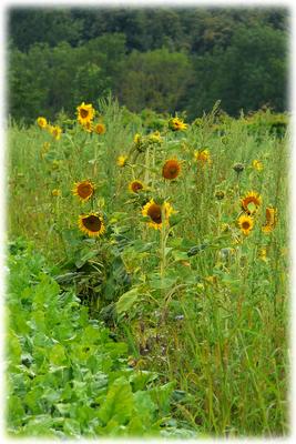 Sonnenblumen am Feldrand