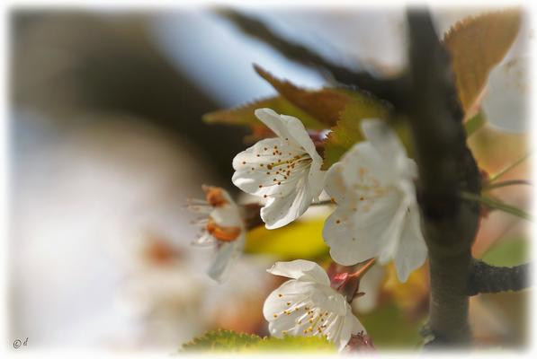 Die Blüten der Wilden Kirsche