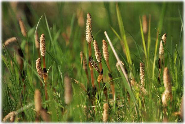 Das Sporophyll des Ackerschachtelhalms