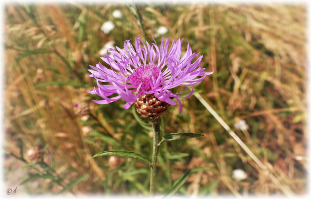 Die Wiesen-Flockenblume