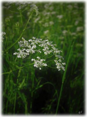 Die Blüten des Wiesen-Kerbels