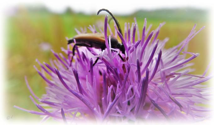 Ein Schmalbock im Pollenbad