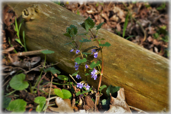 ... & wächst an Totholz ...