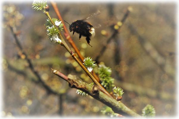 ... & fliegen von Blüte zu Blüte
