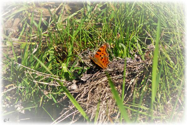 Der C-Falter ist orange gefärbt, seine Flügel sind auffällig gezackt