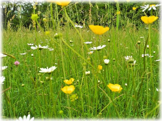Die Wildblumen- & Süßgräserwiese