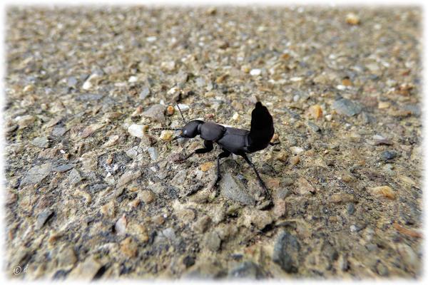 Ein Schwarzer Moderkäfer in Drohhaltung kreuzt den Weg