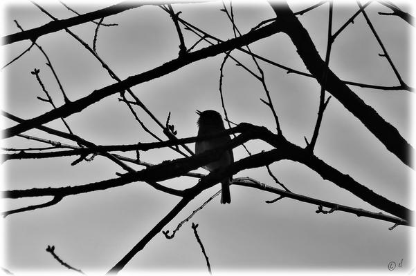 Das im Schatten singende Rotkehlchen