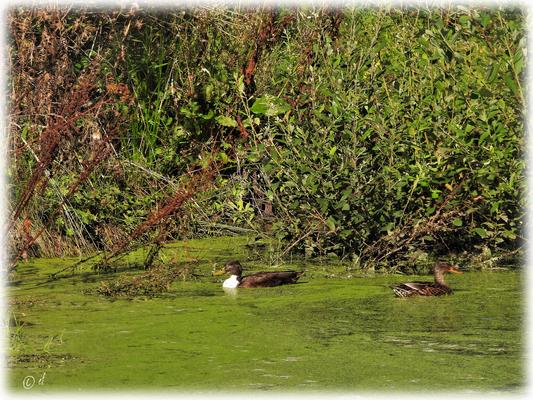 Ein Entenpärchen dreht seine Runden