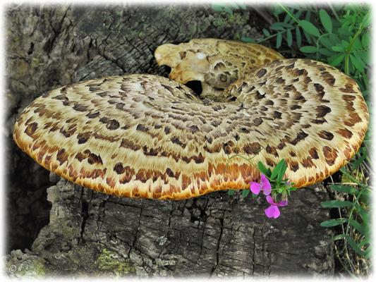 Sein Fruchtkörper kann eine Größe von bis zu 40 cm Durchmesser erreichen