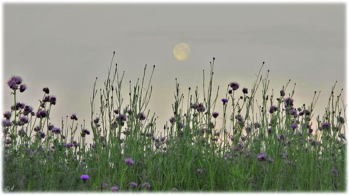 Wenn Büschelschön & Kornblumen nach dem Mond greifen