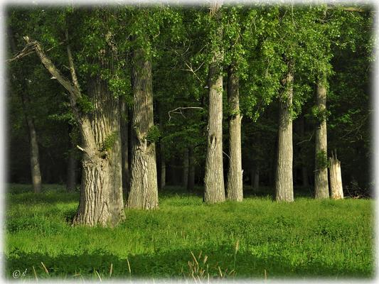 Die leuchtenden Baumstämme