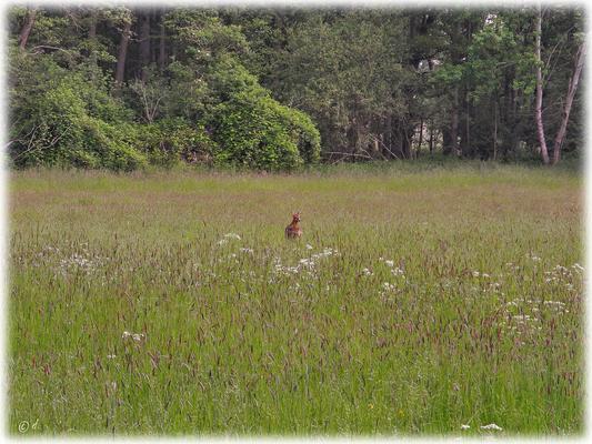 Eine Ricke im hohen Gras