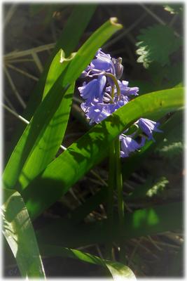 Die Blüten des Hasenglöckchens