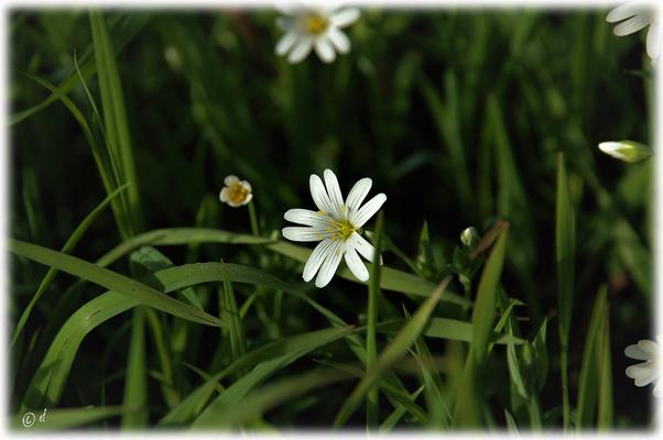"""Die Blüte der Großen Steinmiere (unter die """"Lupe"""" genommen)"""
