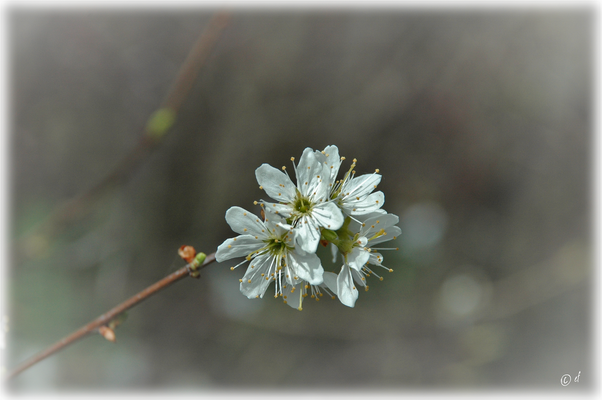 Die Blüten der Schlehe