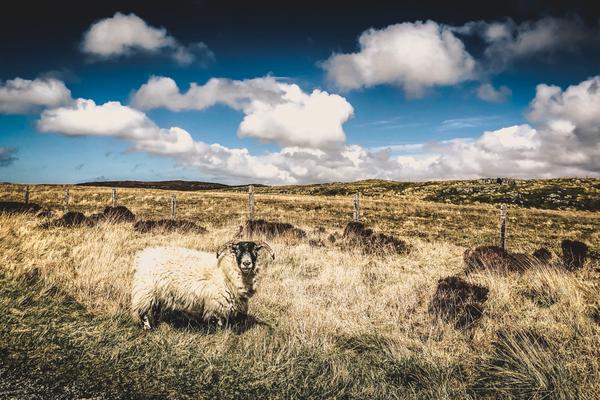 Schaf auf der Insel Lewis and Harris