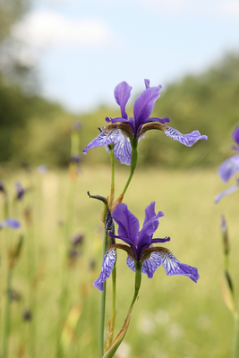 Iris Sibirica (Foto: M. Herzig)