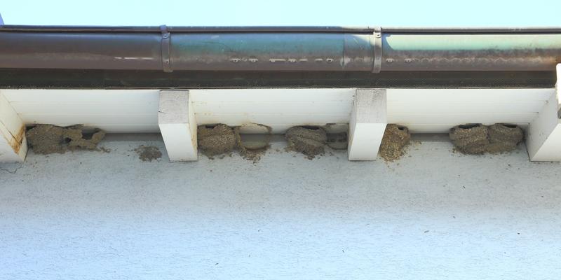 Mehlschwalben-Nester über einem Gehweg