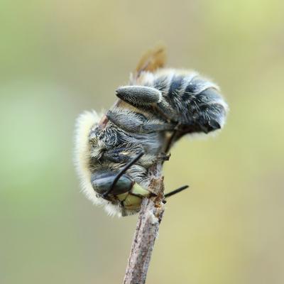 Große Harzbiene am Schlafplatz