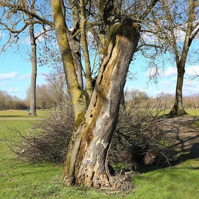 Natürliches Insektenhotel im Totholz einer Esche