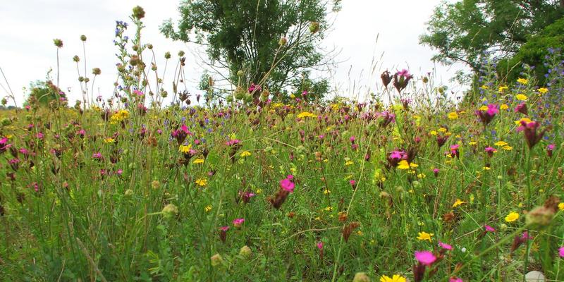Bunte Magerwiese im Naturschutzgebiet Freisinger Buckel