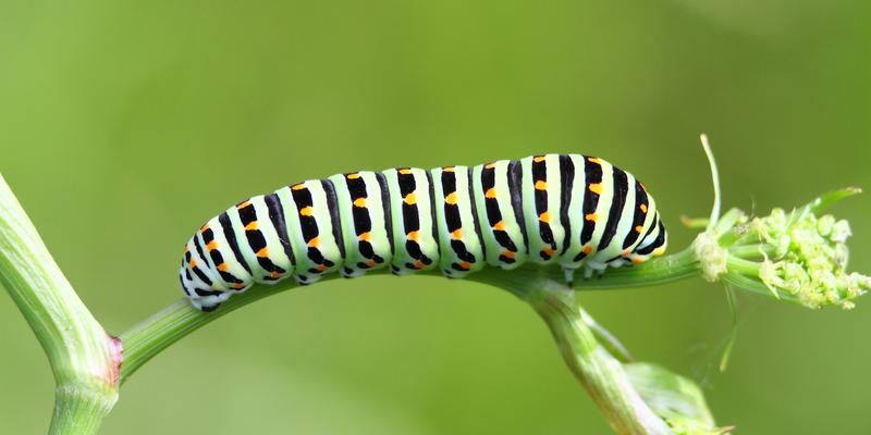 Schwalbenschwanz-Raupe - Papilio machaon