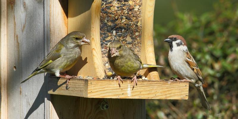 Grünfinken und ein Feldsperling