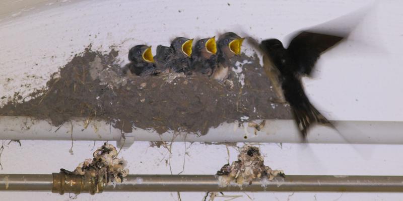 Rauchschwalben-Nest und seine Problematik
