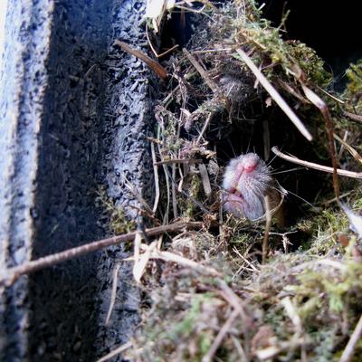 Waldmaus-Nest im Nistkasten