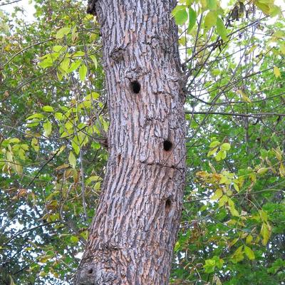 """""""Flötenbaum"""" mit drei Spechthöhlen"""
