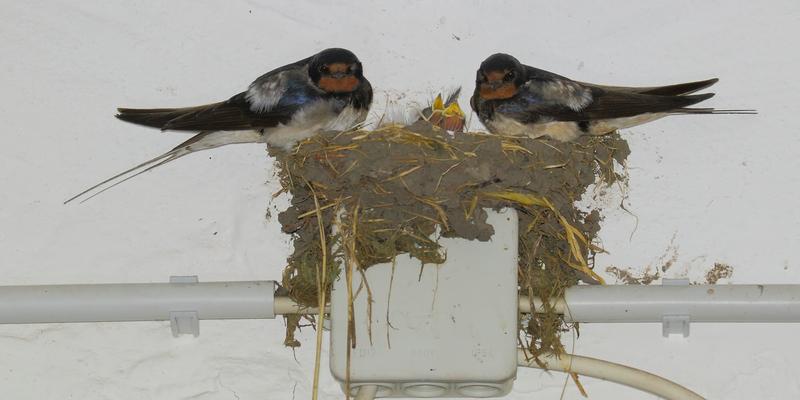Kein optimaler Platz für ein Nest