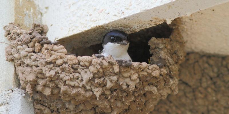 Mehlschwalben-Nest unter einem Balkon