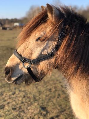 Diam ist ein Pony mit großem Dickschädel, trotzdem lohnt sich die Arbeit mit ihm, denn hast du sein Interesse geweckt will er gefallen und tut alles.VERKAUFT