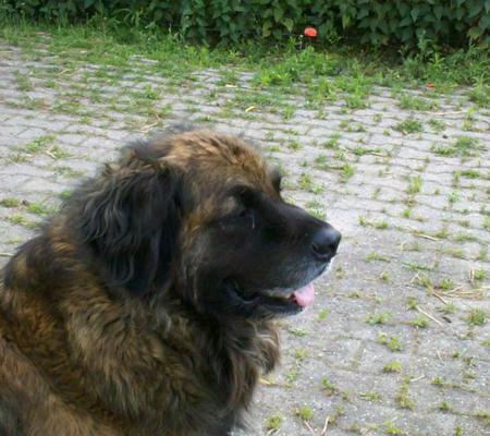 Maddox, ein starker Hund in jeder Hinsicht