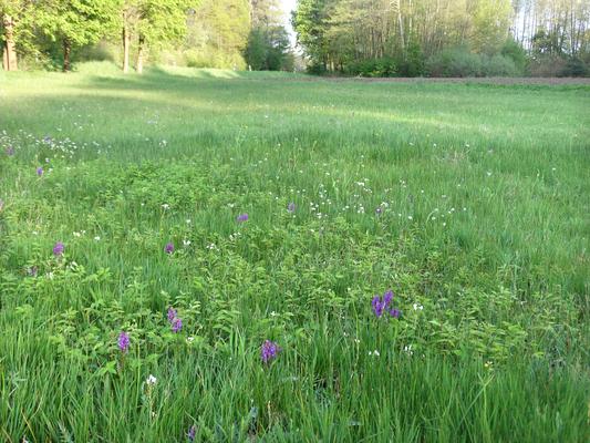 Feuchtwiesenbereich von Fläche 02 mit Breitblättrigem Knabenkraut