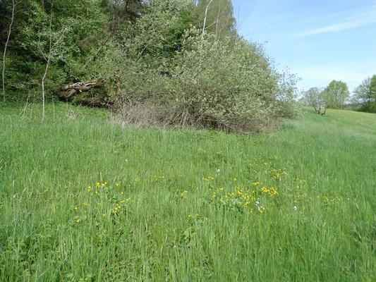 Feuchtwiese mit Sumpfdotterblume im Frühjahrsaspekt bei Oberölsbach
