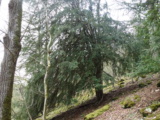 Alteibe im Schluchtwaldbestand im Neutal