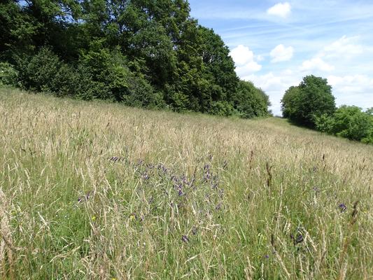 LBV-Wiesenfläche am Sulzbürg im Frühsommeraspekt