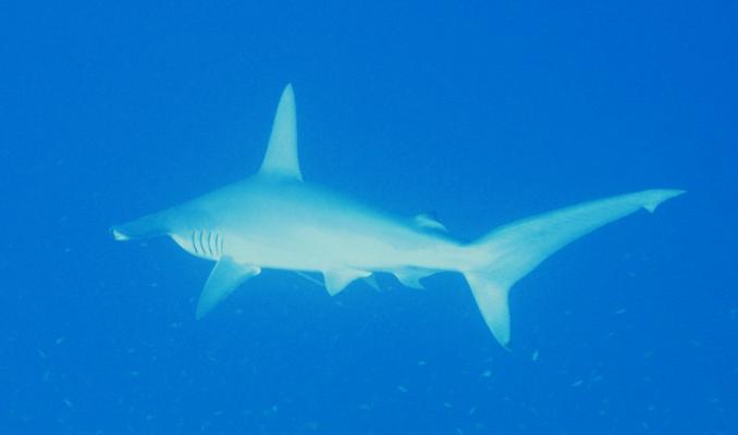 Hammerhaie, Großfische, Haie, Abu Kafan, Steilwände, Plateaus, Strömungstauchen, Tieftauchen,Safaga