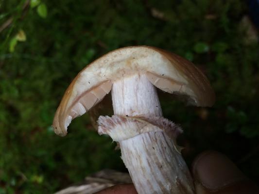 Reifpilz Rozites caperatus