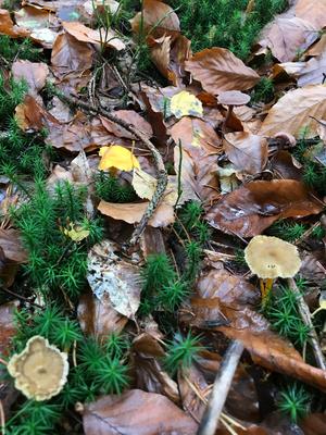 Auf diesem Bild sind drei Pilze: Pfifferling, Trompetenpfifferling un d lila Lacktrichterling