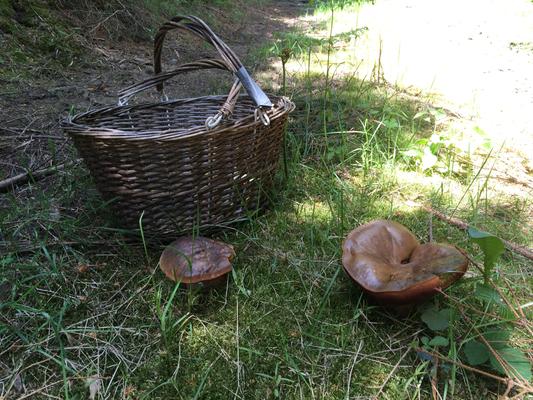 Beachtliche Exemplare des flockenstieligen Hexenröhrlings
