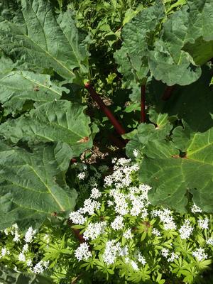 Waldmeister und eine Rhabarber-Pflanze
