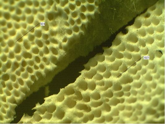 """Vergleich der Poren der gefundenen Fruchtkörper mit einer """"normalen"""" Schmetterlingstramete"""