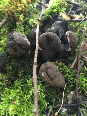 Vielgestaltige Holzkeule (Xylaria polymorpha)
