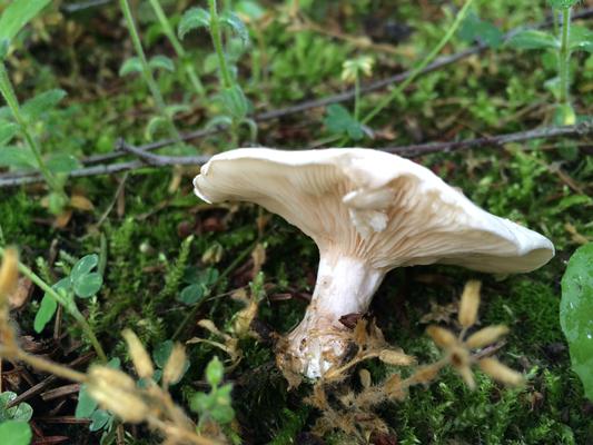 Mehlräsling, Clitopilus prunulus