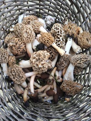 Der Korb gut gefüllt mit Speisemorcheln, (Stadt-)-Champignons und Fingerhut-Verpeln