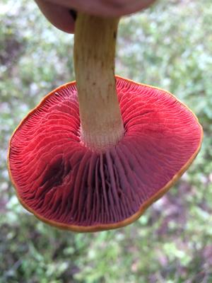 Blutblättriger Hautkopf Cortinarius semisanguineus von unten